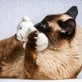 Siamese Thai cat plays with a teddy bear. Claws, teeth, aggression. Royalty Free Stock Photo