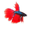 Siamese thai red betta fighting fish full body top form isolated white background Royalty Free Stock Photography