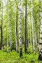 Siberian birch forest in Arshan region of Buryatia
