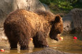 Siberian Brown bear - cub Stock Photos