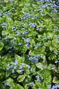Siberian bugloss Royalty Free Stock Photo