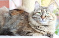 Siberian cat brown tricolor version view of adult female of Stock Photo