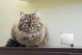 Siberian cat female of on the furniture near a candle Stock Image