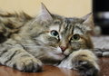 Siberian cat female of on the parquet Royalty Free Stock Image