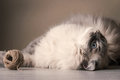 Siberian cat playing with clew horizontal Stock Image