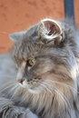 Siberian cat is resting Royalty Free Stock Photo