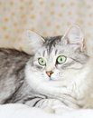 Siberian cat silver version view of adult female of Stock Photo