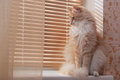 Siberian cat on the windowsill Stock Image