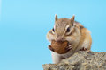 Siberian chipmunk eating walnut on a stone Royalty Free Stock Images