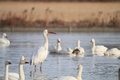 Siberian Crane Royalty Free Stock Photo