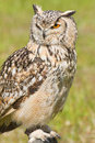 Siberian Eagle Owl or Bubo bubo sibericus Royalty Free Stock Photos