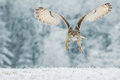 Siberian eagle owl bubo bubo sibiricus workshop Stock Images