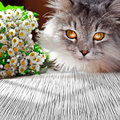 Siberian fluffy cat with camomile Royalty Free Stock Photo