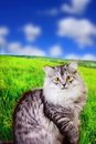 Siberian fluffy cat outdoores Royalty Free Stock Image
