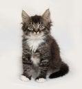 Siberian fluffy tabby kitten sitting on gray
