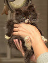 Siberian furry kitten Royalty Free Stock Photo