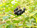 Siberian ginseng berries Royalty Free Stock Photography