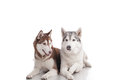 Siberian husky Stock Photos