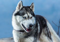 Siberian husky with blue eyes portret in forest Royalty Free Stock Images