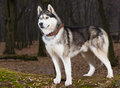 Siberian husky with blue eyes portret in forest Royalty Free Stock Photo