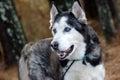 Siberian Husky with Blue Eyes Royalty Free Stock Photo