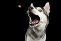 Siberian Husky Dog on  Black Background Royalty Free Stock Photo