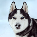 Siberian husky dog Royalty Free Stock Photo