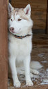 Siberian Husky dog breed Stock Photo