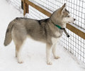 Siberian Husky dog breed Royalty Free Stock Photography