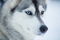 Siberian husky dog closeup Royalty Free Stock Images