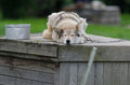Siberian husky dog a dormant on the doghouse Stock Photo