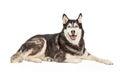 Siberian Husky Dog Laying Royalty Free Stock Photo