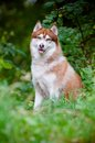 Siberian husky dog outdoors Royalty Free Stock Photos