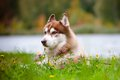 Siberian husky dog outdoors Stock Images