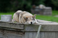 Siberian husky dog resting on the doghouse Royalty Free Stock Image