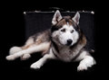 Siberian husky dog. studio shot on dark background Stock Image