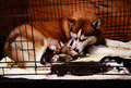 Siberian husky feeding puppy in cage Royalty Free Stock Photo