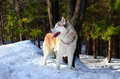 Siberian husky in a forest Royalty Free Stock Photography