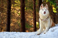 Siberian husky in a forest Royalty Free Stock Image
