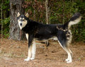 Siberian Husky German Shepherd...