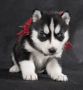 Siberian husky on a gray background Royalty Free Stock Photo