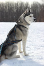 Siberian husky in harness racing sled dog breed Royalty Free Stock Photography