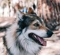 stock image of  Siberian Husky Laika dog