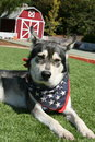 Siberian Husky with Patriotic Scarf and Barn in Background Royalty Free Stock Photo