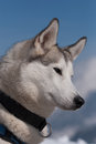 Siberian husky portrait Royalty Free Stock Photo