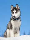 Siberian Husky Puppy Royalty Free Stock Photo
