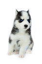Siberian husky puppy cute little Stock Photos