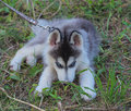 Siberian husky puppy on grass Royalty Free Stock Photography