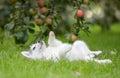 Siberian Husky Puppy play on grass