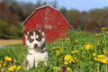 Siberian husky puppy sits in field full of dandelions a beautiful red and white an old rustic barn appears the background Stock Images